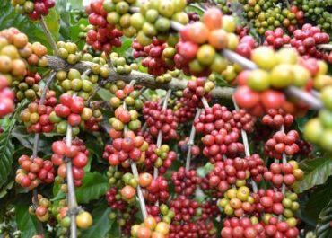 Controle de pH e a produtividade do cafeeiro