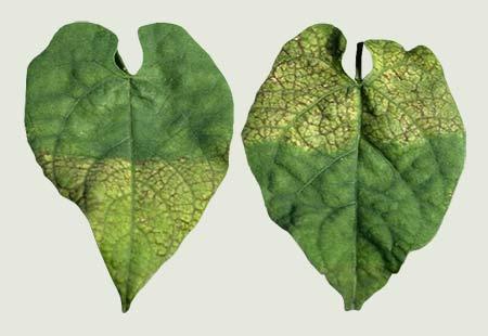 Folhas deficientes em magnésio